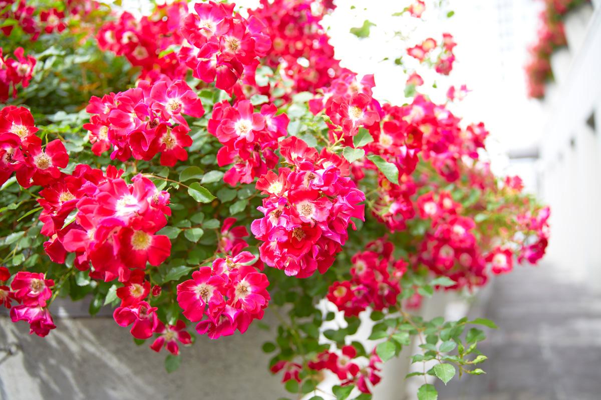 tokyo design center rose